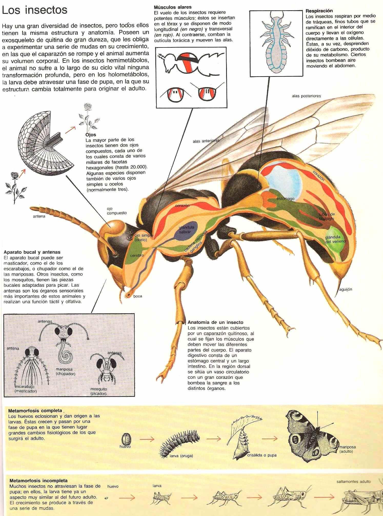 Vistoso Anatomía Hedor Insecto Bandera - Anatomía de Las Imágenesdel ...